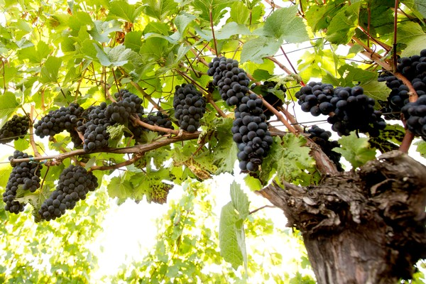 Wine Terms & Lingo Image: Grapes on the Vine at Panther Creek Cellars